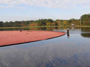 Cranberry bog being harvested on Cape Cod
